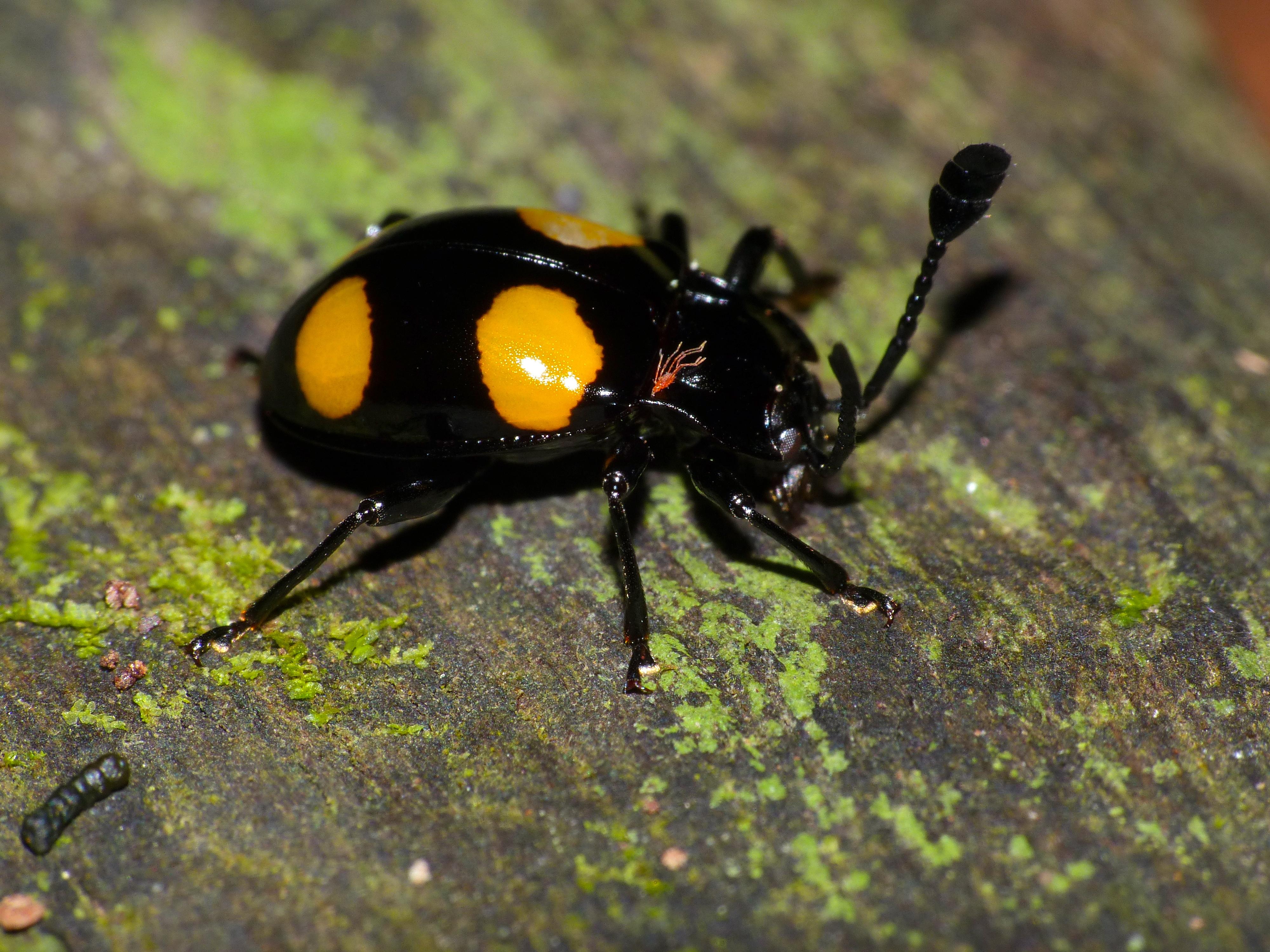Image of <i>Eumorphus westwoodi</i>