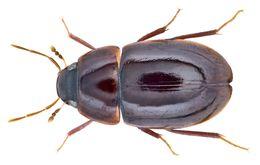 Image of <i>Chasmogenus abnormalis</i> (Sharp 1890)