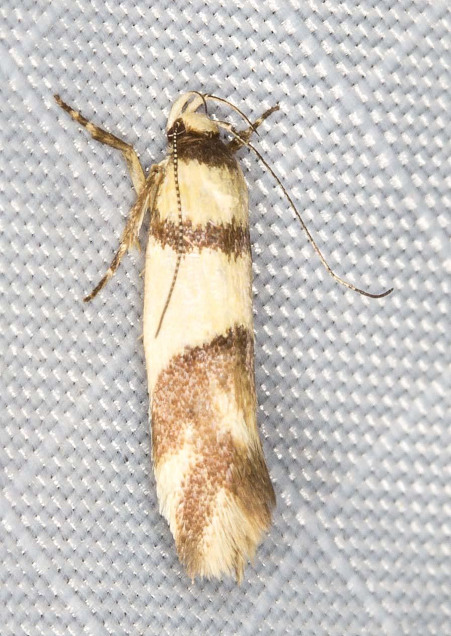 Image of <i>Macrobathra mesopora</i> Meyrick 1886
