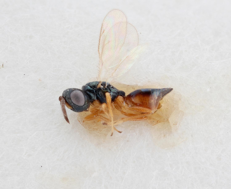 Image of <i>Callitula bicolor</i> Spinola 1811