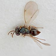 Image of <i>Pediobius coxalis</i> Boucek 1965
