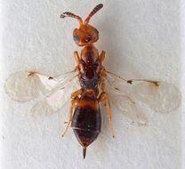 Image of <i>Cerocephala cornigera</i> Westwood 1832