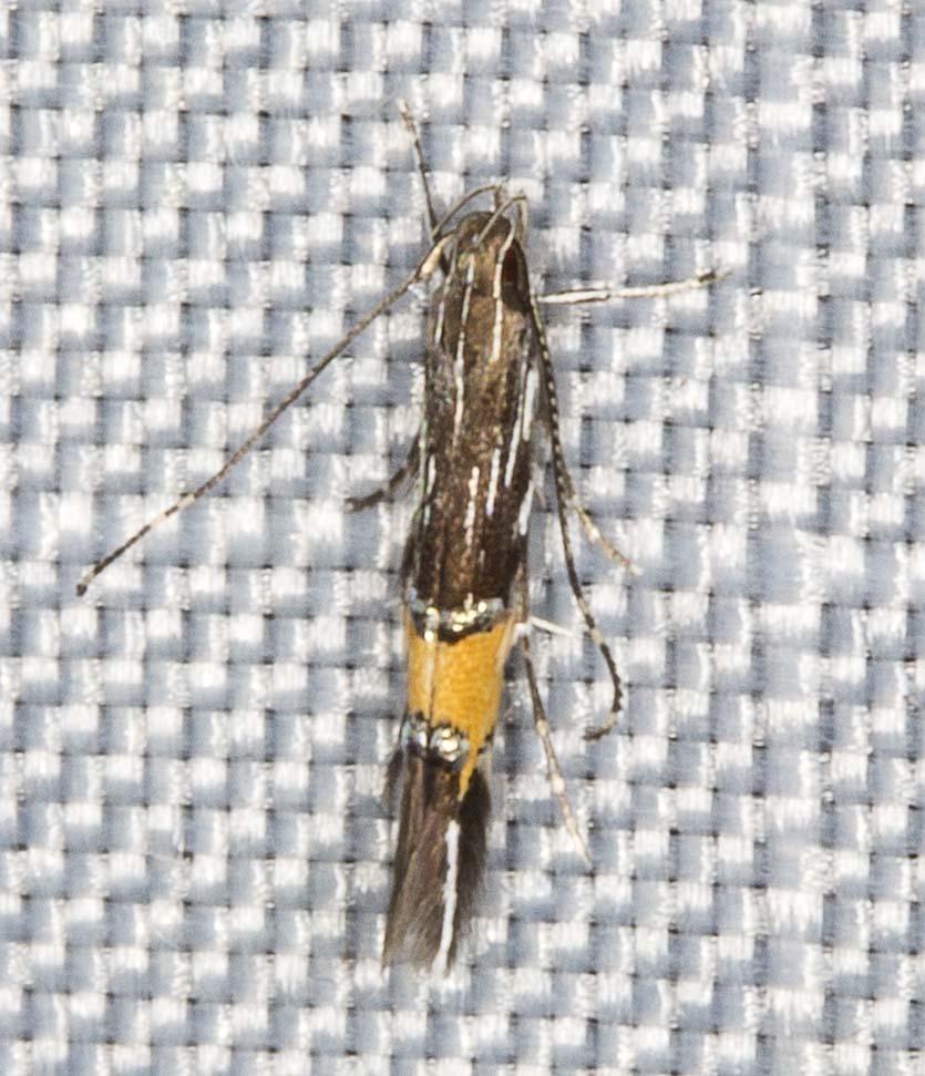 Image of <i>Cosmopterix macrula</i> Meyrick 1897