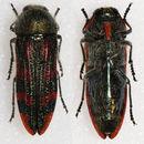 Image of <i>Lasionota cupricollis</i>