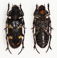 Image of <i>Cereopsius aureomaculatus</i> Breuning 1968