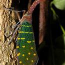 Image of Lantern Bugs