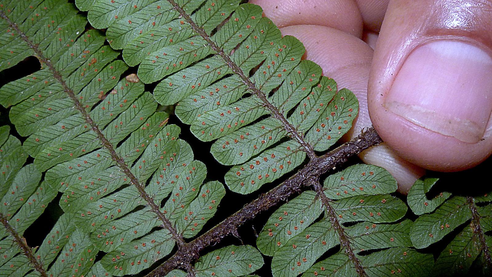 Image of <i>Ctenitis distans</i> (Brack.) Ching