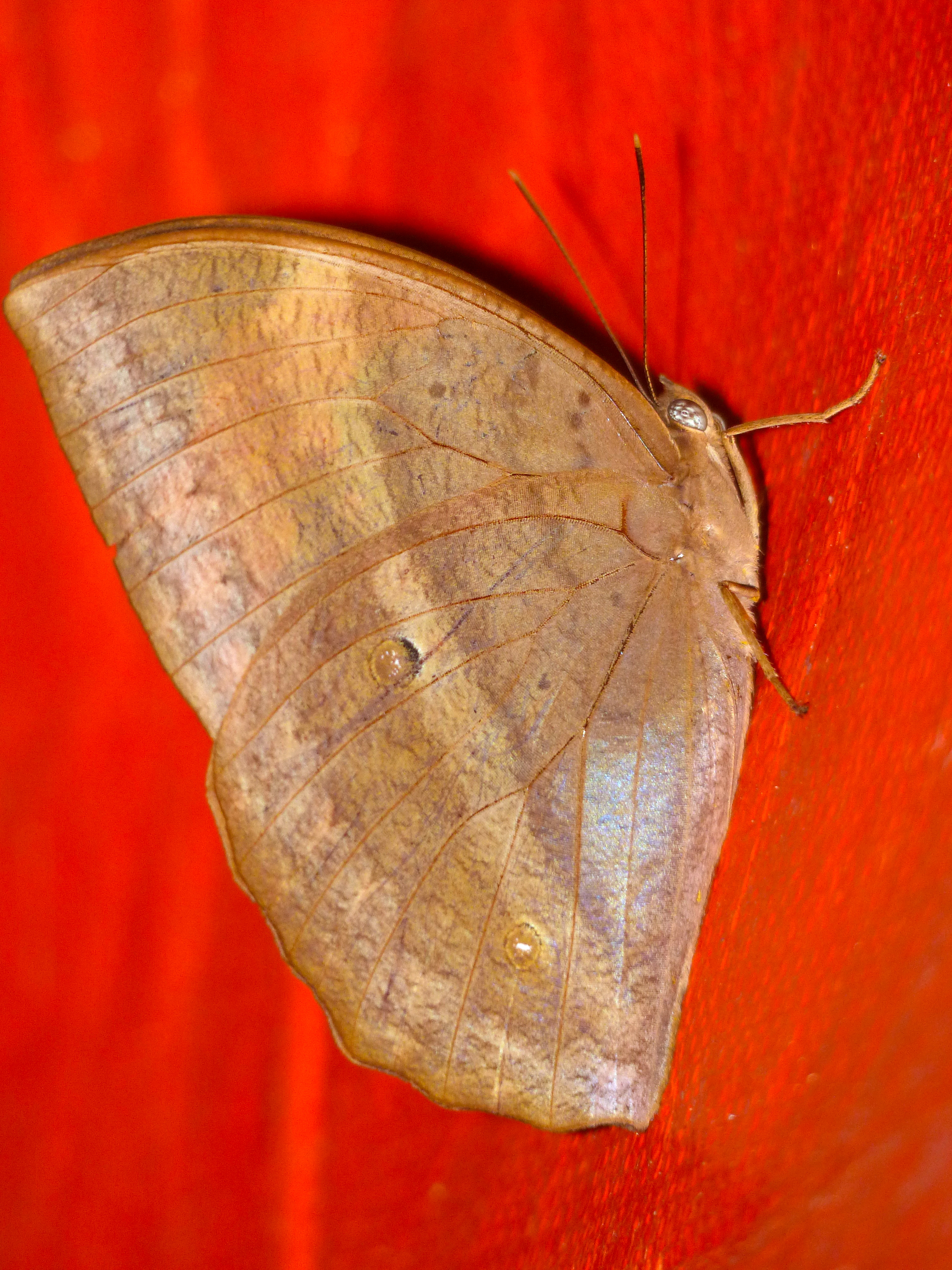 Image of <i>Discophora sondaica symphronia</i> Fruhstorfer 1911