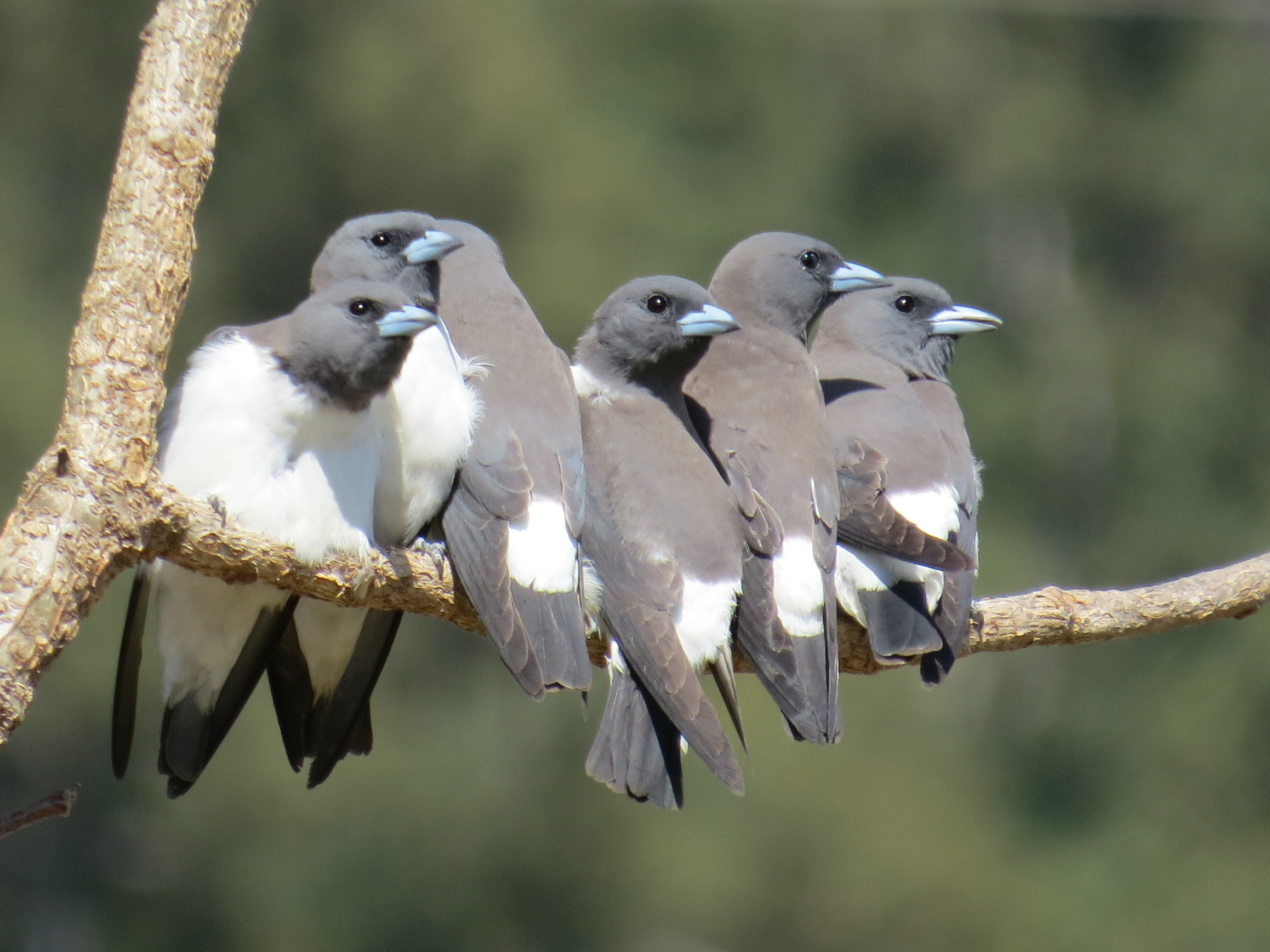 Image of White-breasted Woodswallow