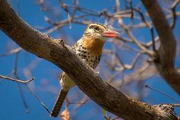Image of Caatinga Puffbird