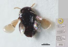 Image de <i>Arketypon vaderi</i> Guerrieri & Noyes 2002