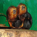 Image of golden-headed lion tamarin