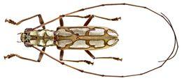Image of <i>Olenecamptus quadriplagiatus</i> Dillon & Dillon 1948