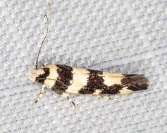 Image of <i>Macrobathra euryleuca</i> Meyrick 1886