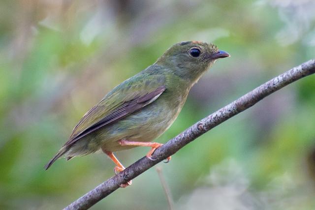 Image of blue-backed manakin