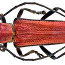 Image of <i>Glenea</i> (<i>Acutoglenea</i>) <i>cardinalis</i> Thomson 1861