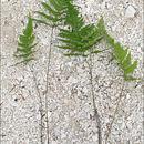 Image of <i>Phegopteris connectilis</i> (Michx.) Watt