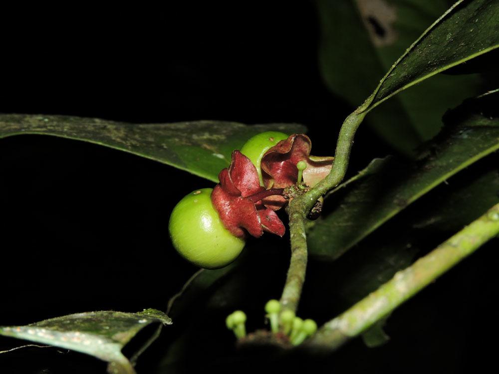 Image of <i>Heisteria concinna</i> Standl.