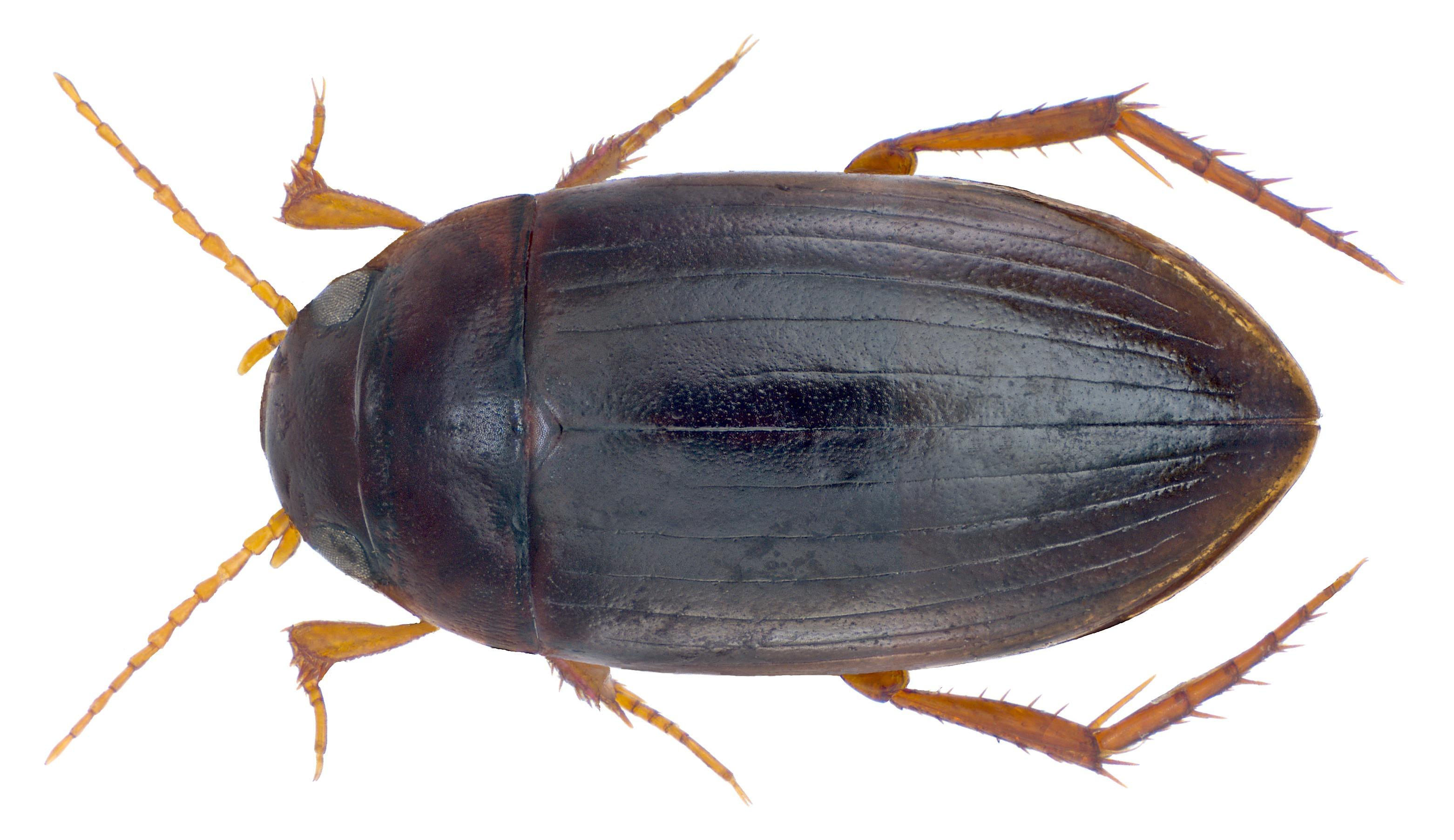 Image of <i>Copelatus tenebrosus</i> Régimbart 1880