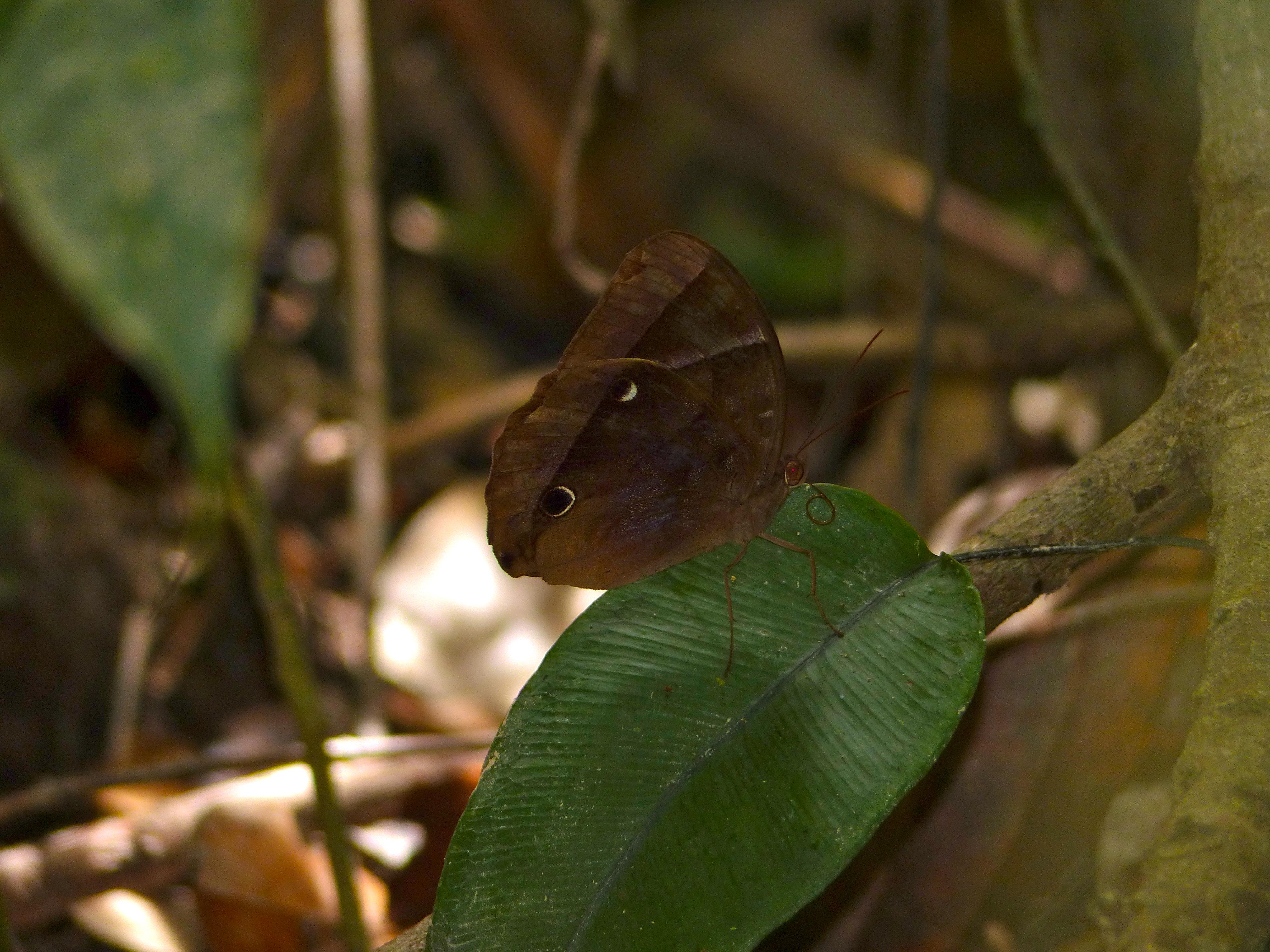 Image of <i>Thaumantis klugius</i> ssp. <i>lucipor</i> Westwood