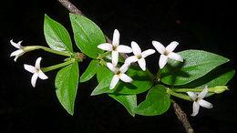 Image of <i>Chomelia tenuiflora</i> Benth.