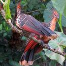 Image of Opisthocomiformes