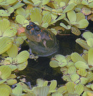 Image of river turtle
