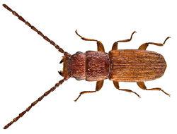 Image of <i>Laemophloeus pusillus</i>