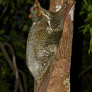 Image of flying lemurs