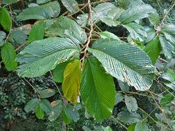 Image of <i>Parashorea macrophylla</i> Wyatt-Smith ex P. S. Ashton