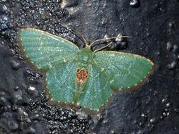 Image of <i>Hemithea tritonaria</i> Walker 1863