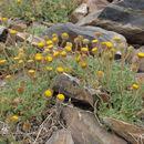 Image of cutleaf daisy