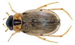Image of <i><i>Berosus</i></i> (Berosus) <i>pulchellus</i> Mac Leay & W. S. 1825