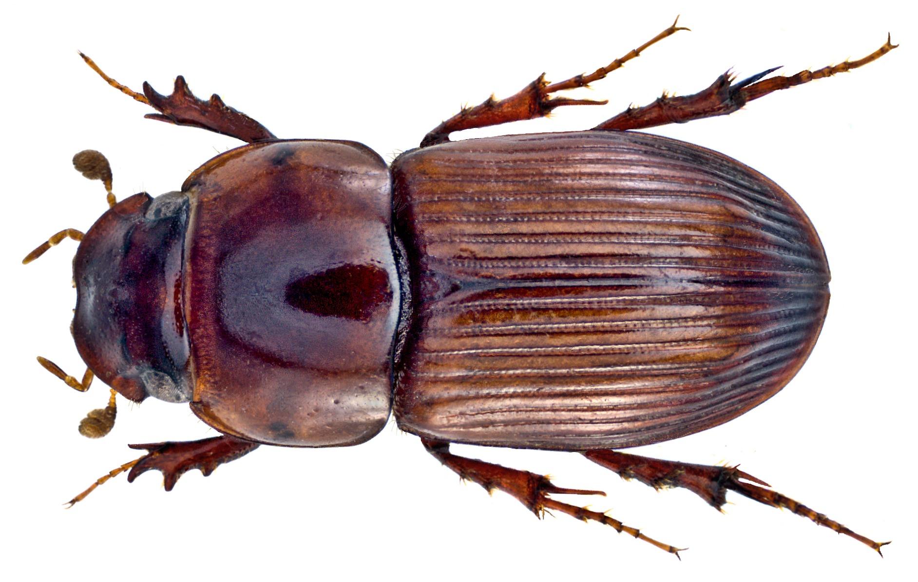 Image of <i>Pharaphodius russatus</i> (Erichson 1842)