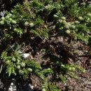 Image of common juniper