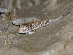 Image of Barred mudskipper