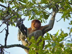 Image of proboscis monkey