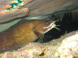 Image of Barbelled eel-pout