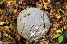 Image of Western giant puffball