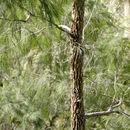 صورة <i>Allocasuarina torulosa</i> (Ait.) L. A. S. Johnson