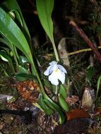 Image of <i>Rossioglossum oerstedii</i> (Rchb. fil.) M. W. Chase & N. H. Williams