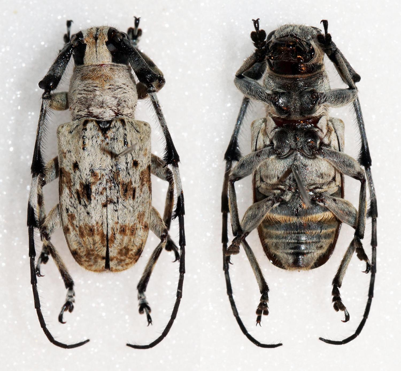 Image of <i>Cacia</i> (<i>Acanthocacia</i>) <i>melanopsis</i> Pascoe 1866