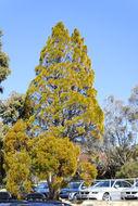 Image of Brush Cypress Pine