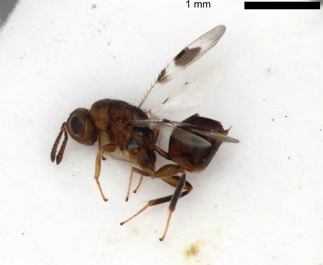 Image of <i>Sycophila binotata</i> (Fonscolombe 1832)