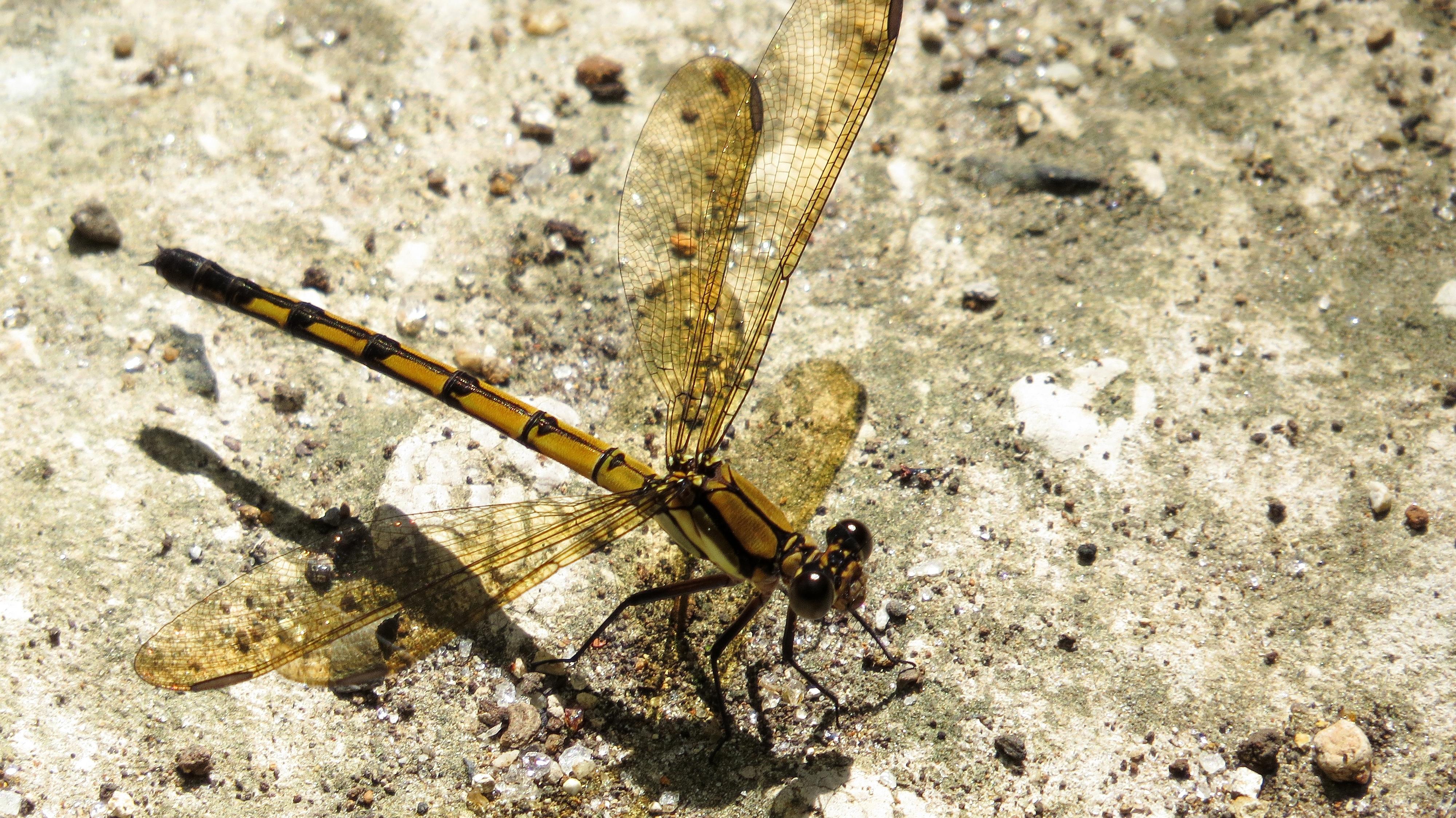 Image of <i>Diphlebia coerulescens</i> Tillyard 1913