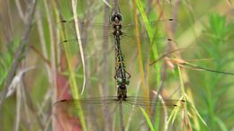 Image of Sentry Dragonfly