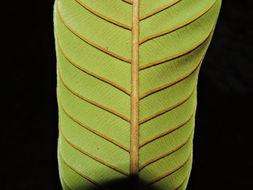 Image of <i>Pradosia atroviolacea</i> Ducke