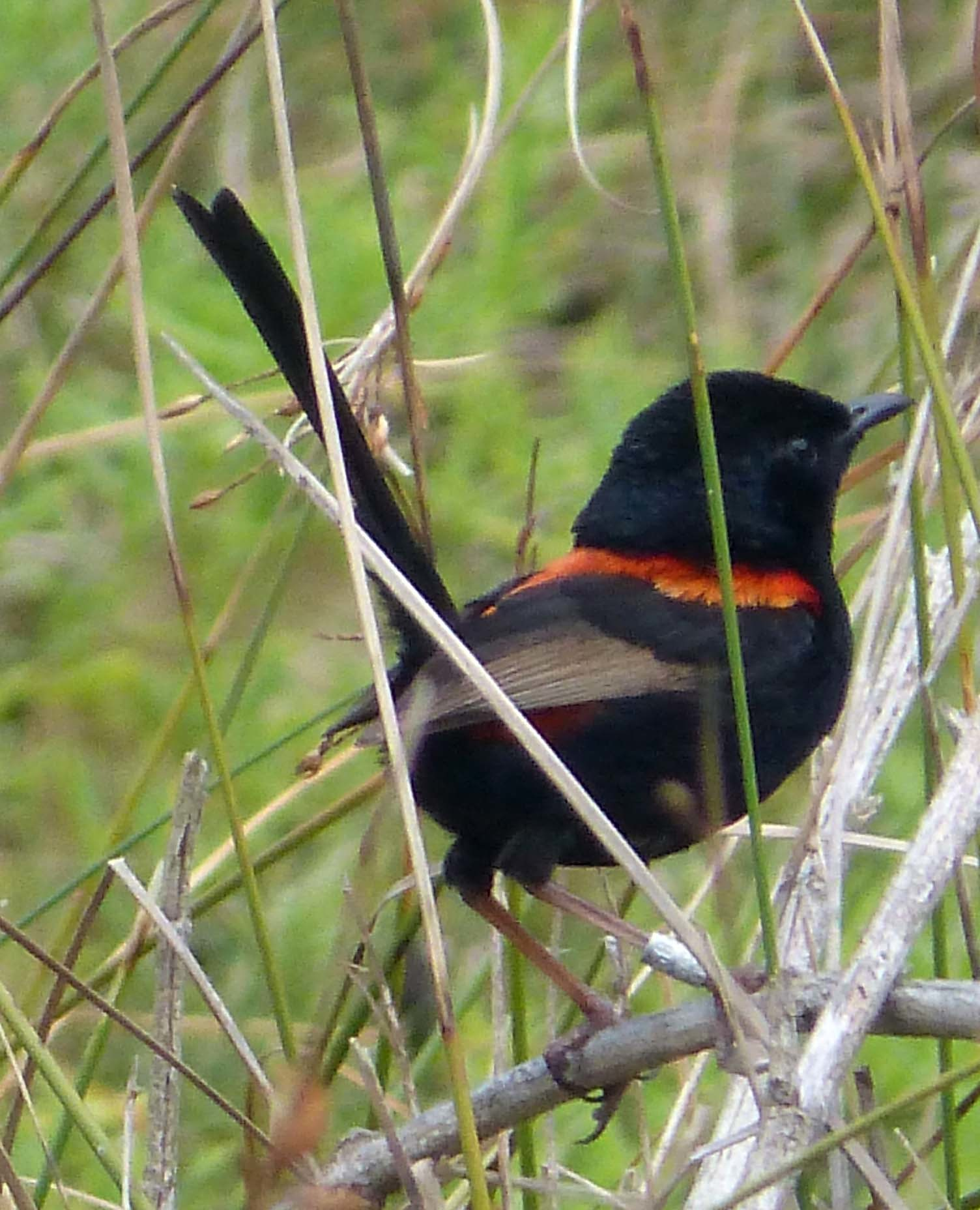 Image of Red-backed Fairy-wren