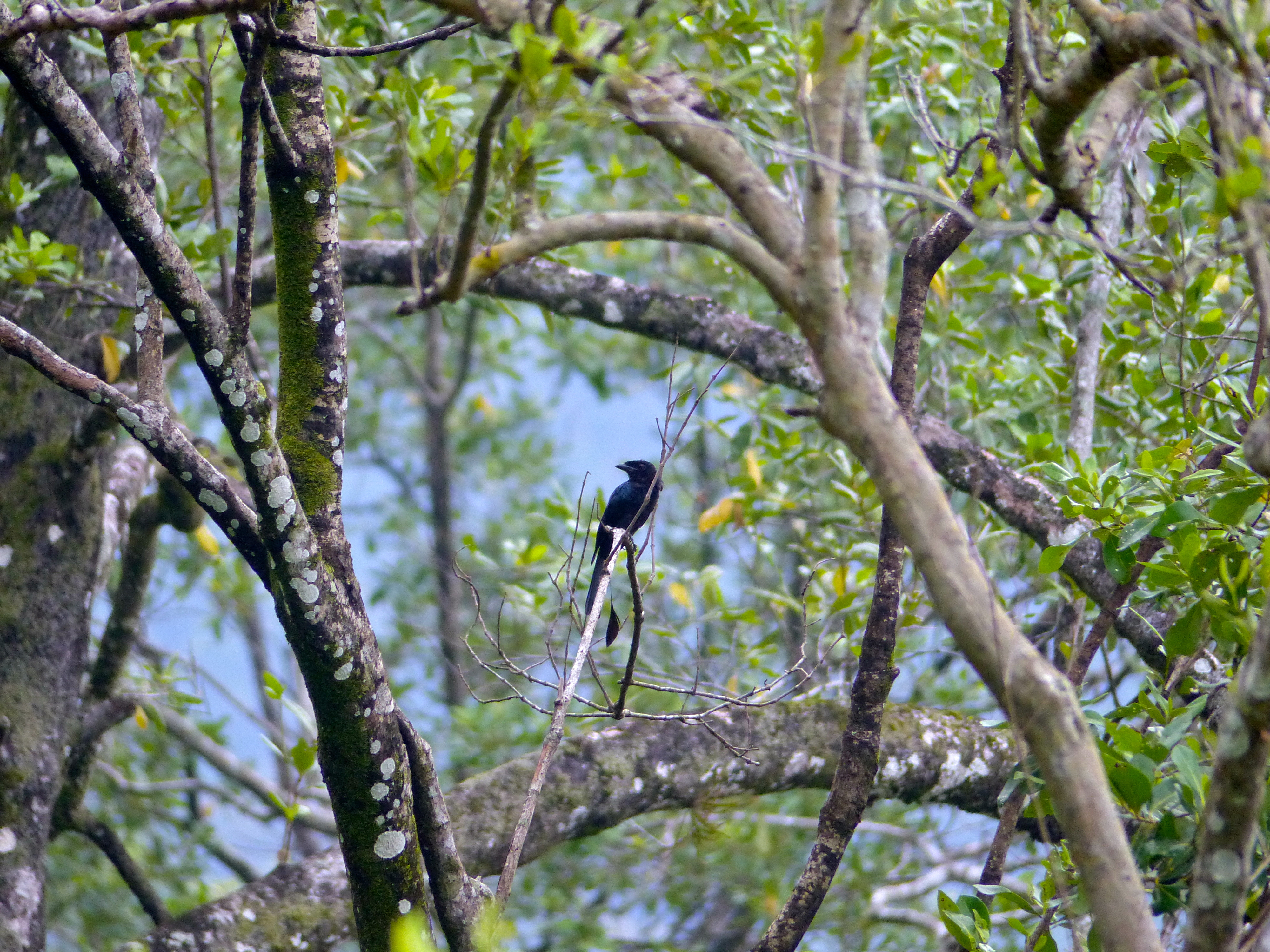Image of Greater racket-tailed drongo