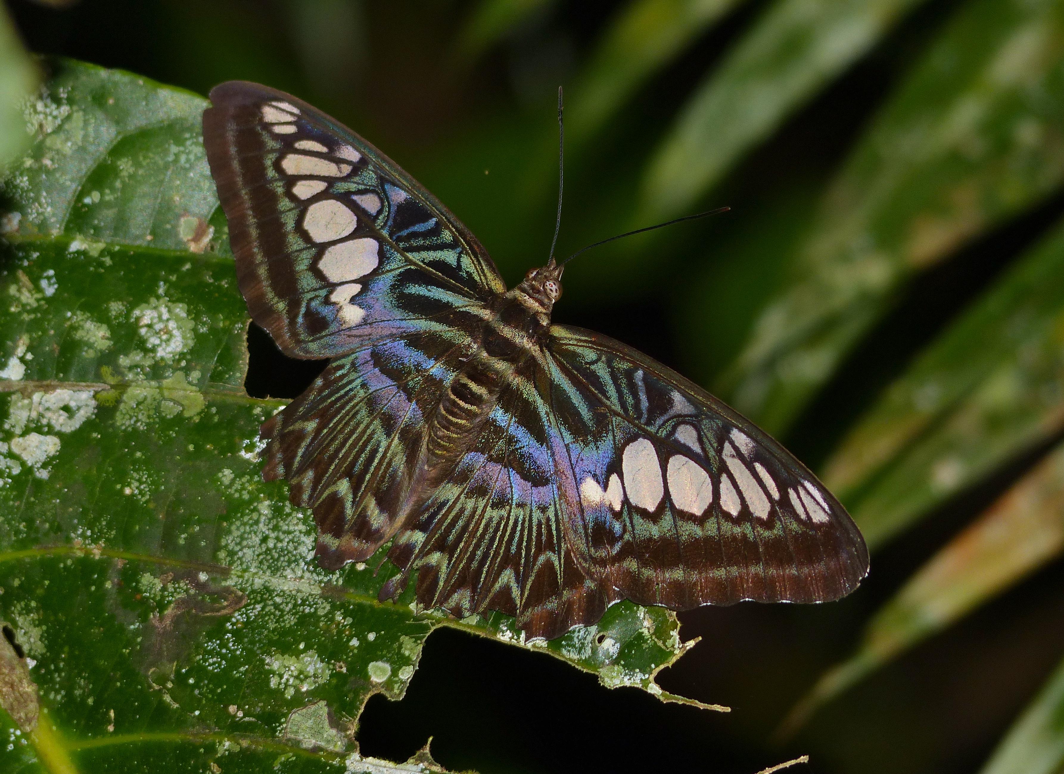Image of <i>Parthenos sylvia borneensis</i>